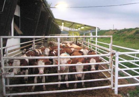 Feeding cattle in the stable