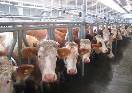 Cattles Fleckvieh in stable in Siberia