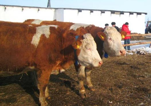 Cattles Fleckvieh in free air stable in Siberia