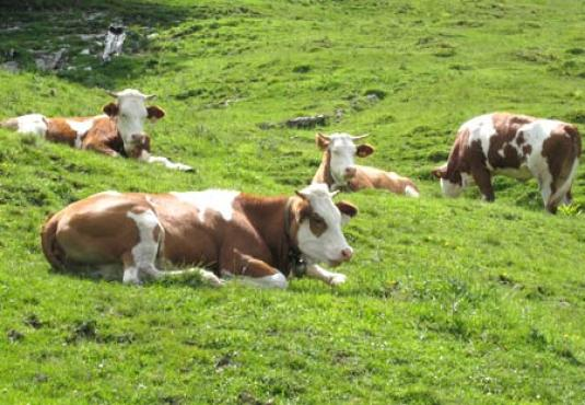 Austrian breeding Cattle