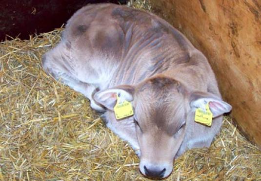 Brown swiss calve