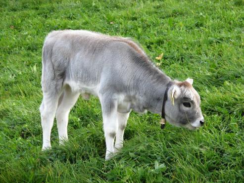 Grauvieh calve in the pasture