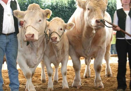 Three charolais outdoor