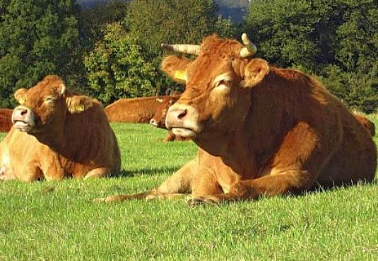 Limousin lying in the pasture