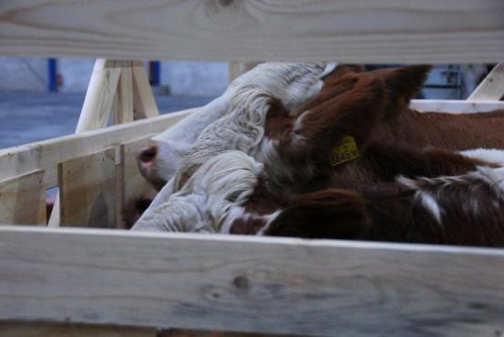 Cattles in a transport box