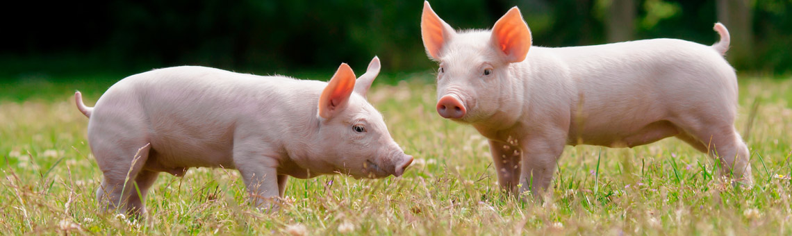 Pigs in the pasture